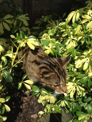 Maya the Bengal Cat emerges from hiding in the bushes