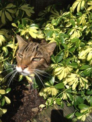 Peek a Boo with Maya the Bengal cat