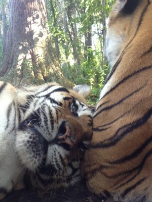 Shere Khan and China Doll Tigers enjoying lazy time