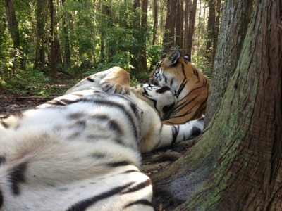 Tigers, Shere Khan and China Doll, loll about in the woods