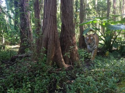 These two tigers have 3 acres of forest and lake at BCR