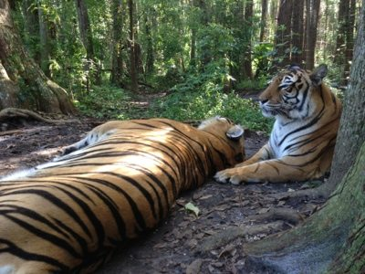 Big Cat Rescue would love to provide this kind of home to all tigers in need
