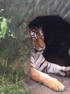 Flavio Tiger is always such a pleasant tiger