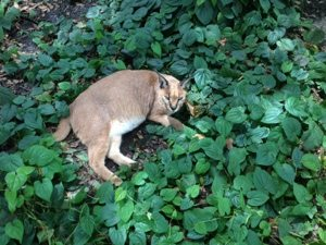 Sassy Caracal in a sea of leaves