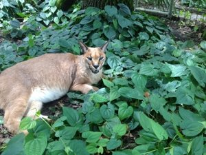 Rusty Caracal in his garden of Eden at Big Cat Rescue