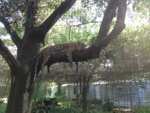Cheetaro Leopard gets a better view of RNC Pages