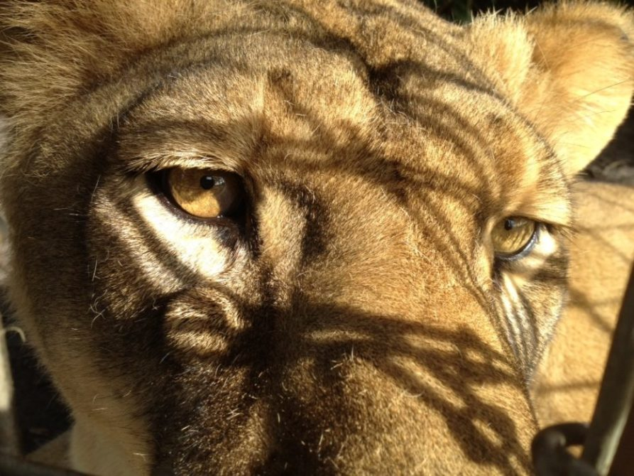 Click to see this image of Sasha Lioness larger