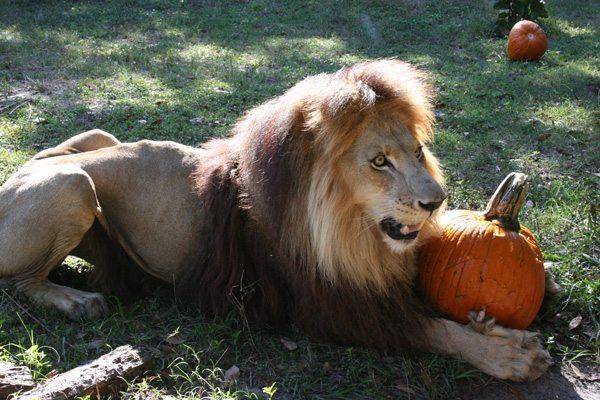 Lions on the Menu in Wichita Kansas