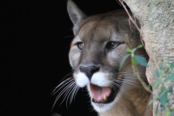 Killing mountain lions for sport