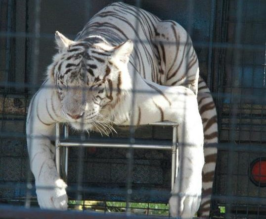 White Tiger on Display at Family Circus