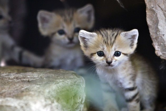 Sand Cat Kitten Ramat Gan Safari Tel Aviv