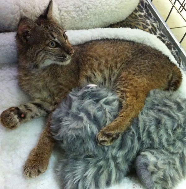 This is Rufus the bobcat kitten from SC and not the rehab bobcat