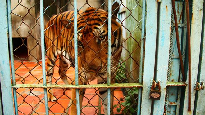 rp_Vietnam-Tiger-Farms-3.jpg