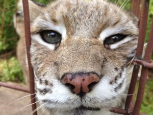 Who is this cutey face bobcat?