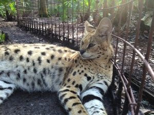 Serval taking in the first morning sunbeams