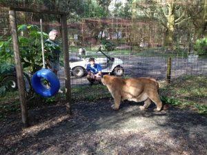Cougar greets Intern at Big Cat Rescue