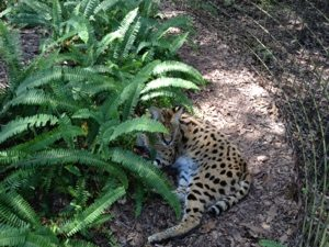 Ty Serval supervises the work on the path
