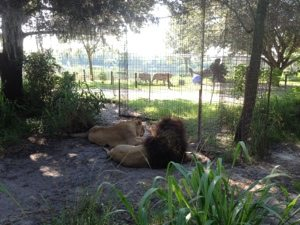 Joseph and Sasha lions watch tiger brothers