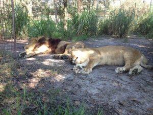Joseph and Sasha lions sleep in the noon day heat