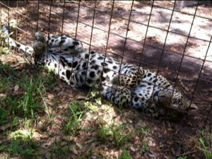 Leopard is willing to test the blow up bed