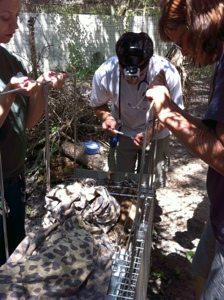 Vaccinating a bobcat