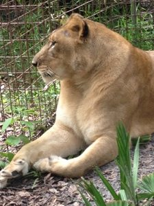 Nikita Lioness waits with great anticipation for her huge new room addition
