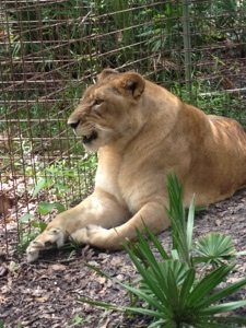 Nikita Lioness had been seized in a drug raid