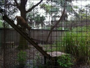 Angelica Bobcat uses her ramp to get to her other side of cage