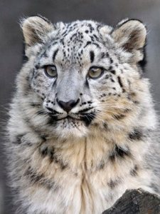 Join the SnowLeopardTrust.org
