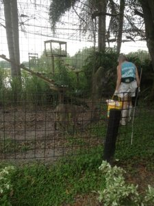 Cleaning cages with Max the bobcat trying to help