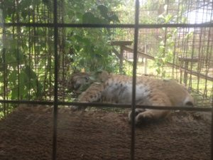 Windstar Bobcat in his favorite window perch
