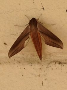 Guess what kind of moth this was at Food Prep over on  http://www.butterfliesandmoths.org/species/Xylophanes-tersa