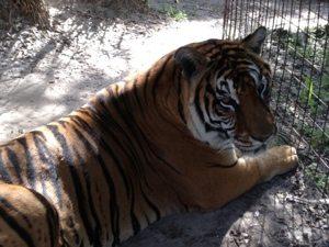 SARMOTI tiger at Big Cat Rescue