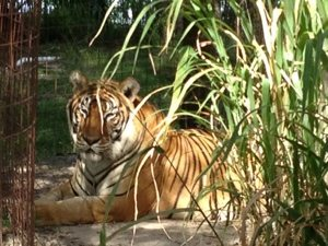 SARMOTI tiger in high grass at Big Cat Rescue