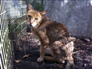 18 year old Jungle Cat is frail but interested in her new neighbor https://bigcatrescue.org/2011/shaniqua