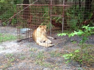 We didn't think Nikita Lion would ever feel comfortable going into a confined space like one of our feeding lockouts, but she looks pretty content