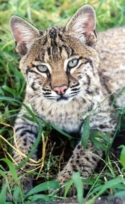 Moses Bobcat back when he was a younger kitten