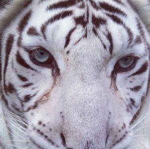 Zabu the white tiger sneaks around and tries to catch the lawn crew by surprise