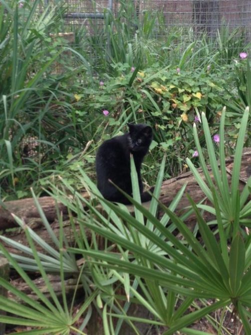 Melanistic Geoffroy Cat in her flowered domain