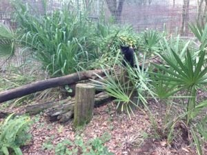 Nico the melanistic Geoffroy Cat