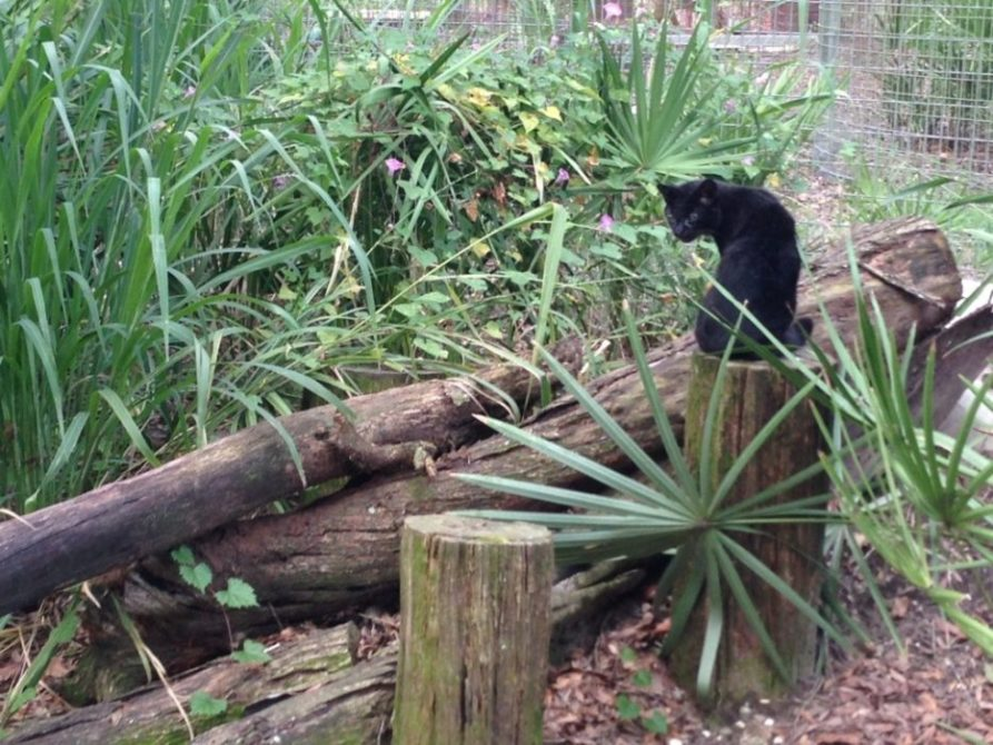 Click to see larger Nico the melanistic Geoffroy Cat