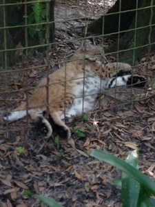 Raindance Bobcat sticks her feet out of the fence