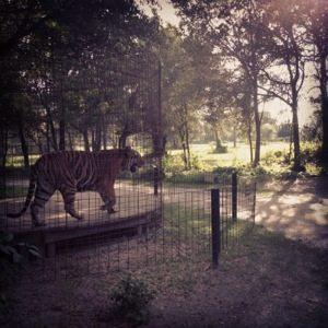 Texas Tigers on Patrol