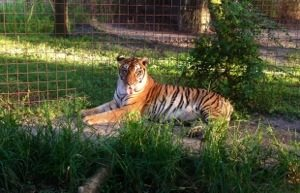 Tiger sunning himself at Big Cat Rescue