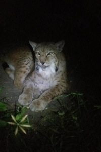 Siberian Lynx saved from fur farm
