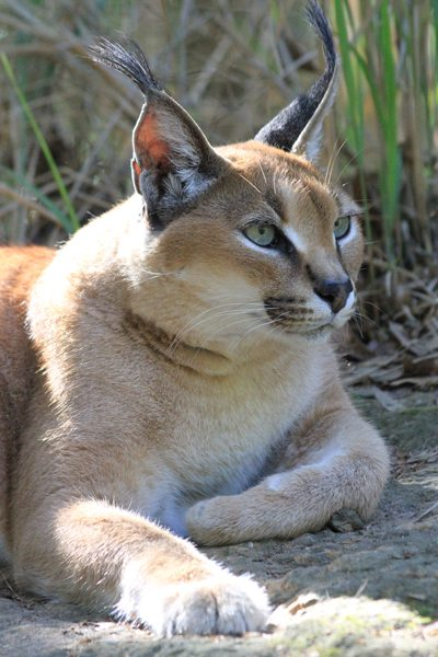 Rose Caracal at Big Cat Rescue