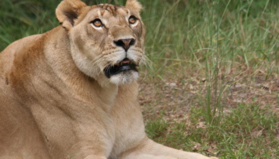 Nikita Lion All Grown Up