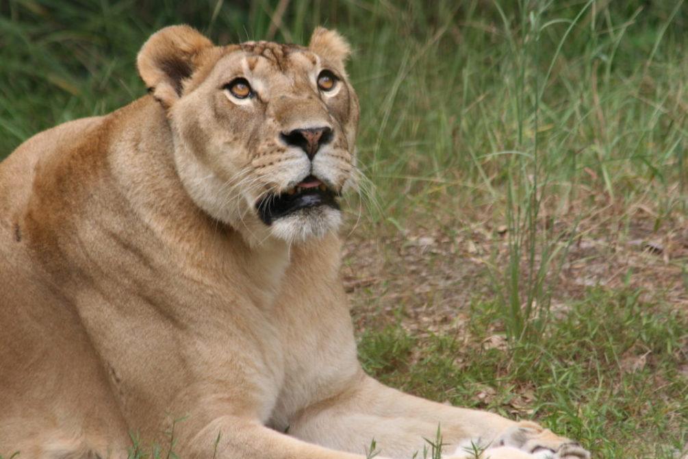 Lion News