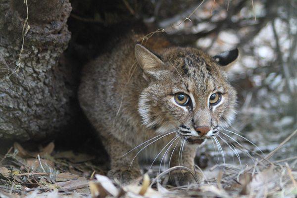 Skip the bobcat