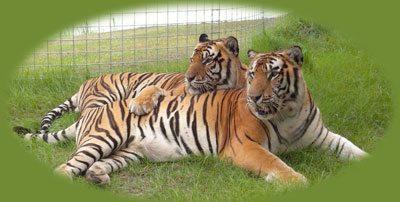 Tigers at Big Cat Rescue